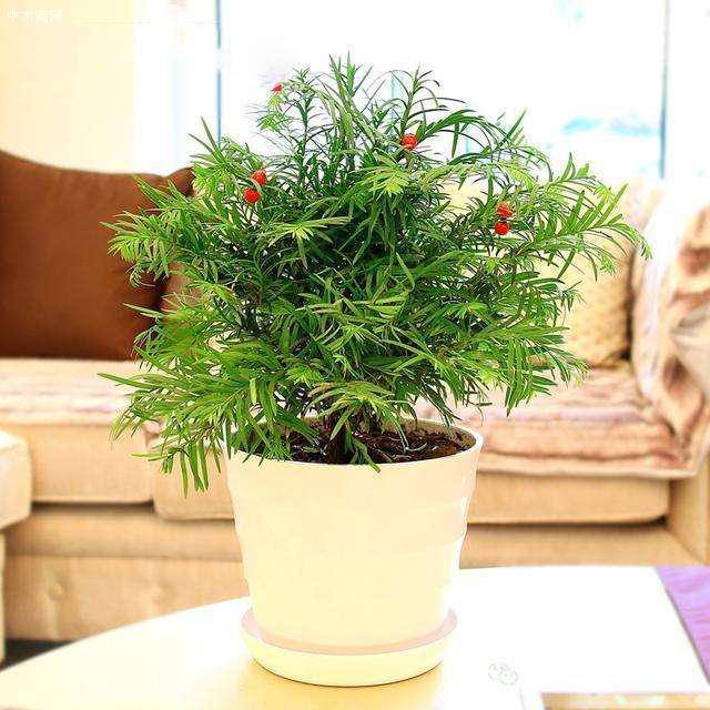 """传说中的红豆杉,实在是植物中的""""奢侈品"""",不在价格而在作用厂家"""