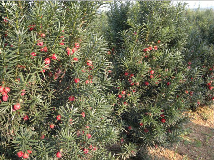 """传说中的红豆杉,实在是植物中的""""奢侈品"""",不在价格而在作用图片"""