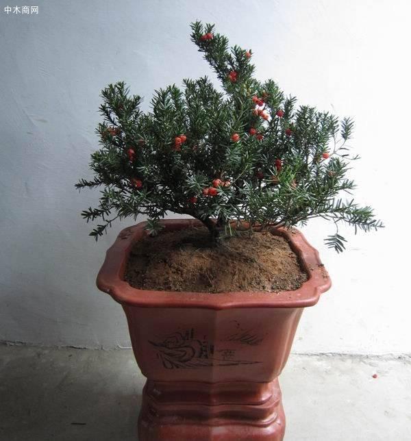"""传说中的红豆杉,实在是植物中的""""奢侈品"""",不在价格而在作用品牌"""