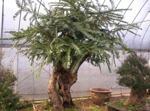 """传说中的红豆杉,实在是植物中的""""奢侈品"""",不在价格而在作用价格"""