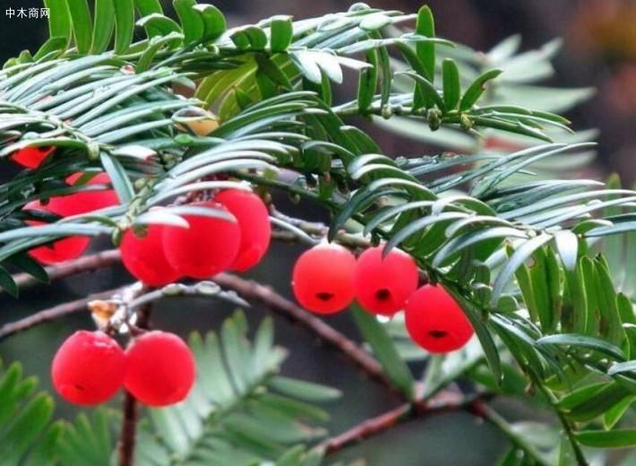 """传说中的红豆杉,实在是植物中的""""奢侈品"""",不在价格而在作用采购"""