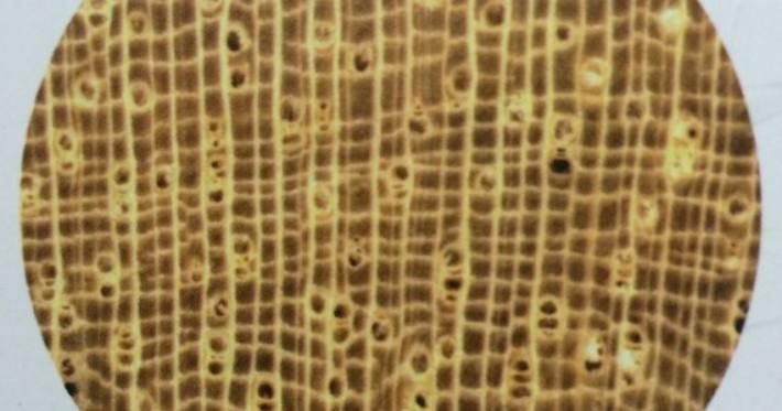 柚木王,非洲柚木,黄金柚木,金丝柚木,老挝柚木图片