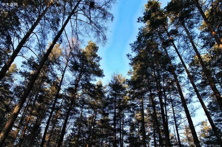 俄罗斯落叶松木材的特点有哪些
