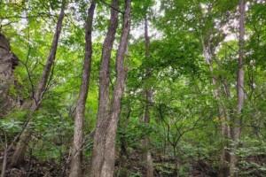 北京地区首次发现种群规模最大的珍贵铁木