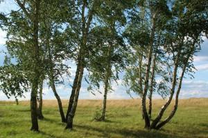 俄罗斯桦木是什么档次的木材及用途有哪些?