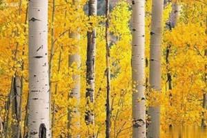 俄罗斯铁桦木的特点有哪些?