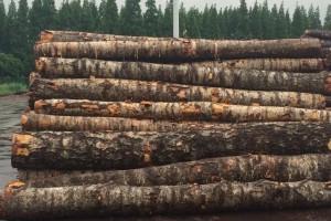 俄罗斯桦木密度多少及做家具的4个优点?