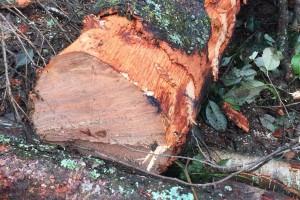 西南桦木原木,水冬瓜木原木林场直供