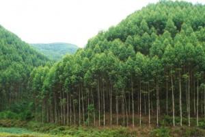 技术:桉树林地上的铁芒箕最好不要打除草剂