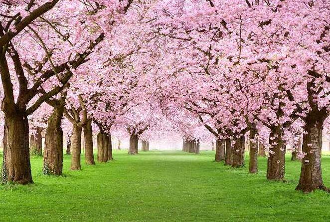 如何鉴别樱桃木的真假方法