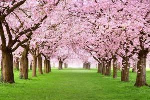 如何鉴别樱桃木的真假方法?