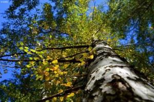 欧洲桦木和俄罗斯桦木的区别?