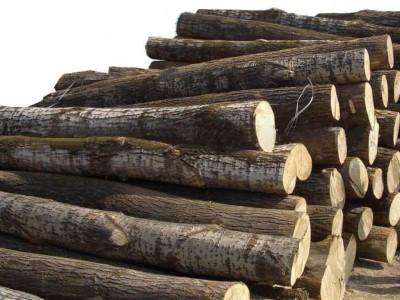 白杨木原木200吨无虫眼