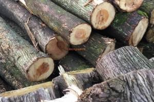 四川陈氏木业香柏木原木,柏木寿材高清图片