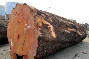中国伐木工人因在加蓬梅坎博林区盗窃巴花木材而遭逮捕