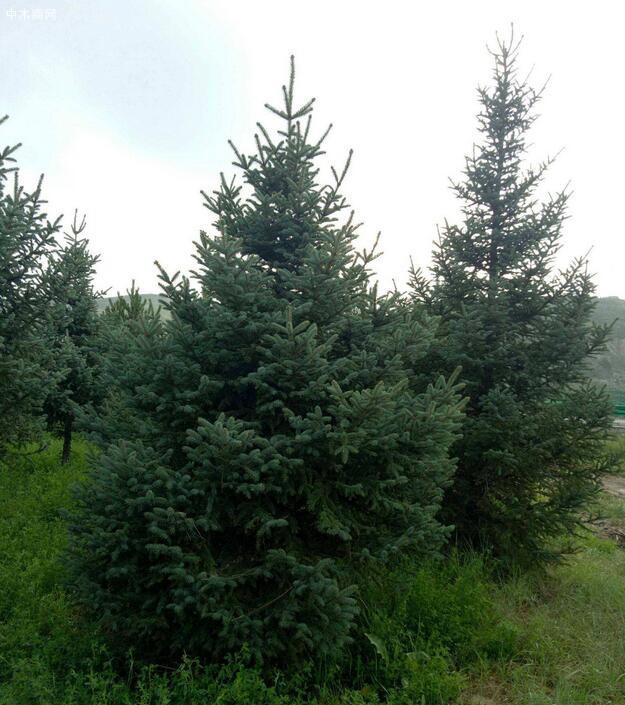 青海云杉属什么科与青杄云杉的区别图片
