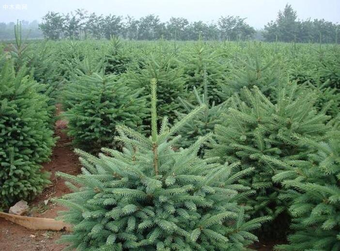 青海云杉属什么科与青杄云杉的区别苗木