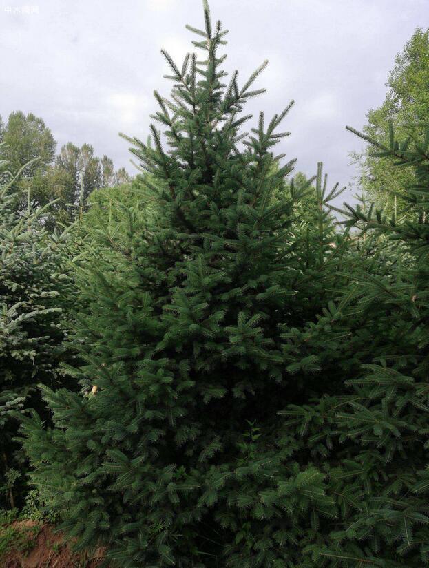 青海云杉属什么科与青杄云杉的区别价格