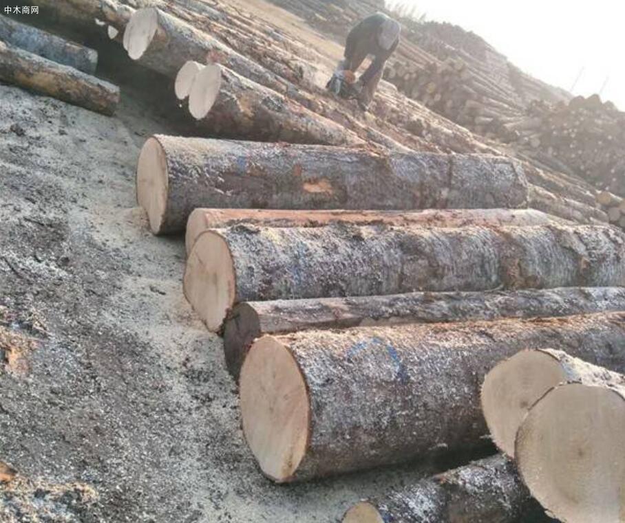 云杉的优点和缺点及云杉木材的用途介绍图片