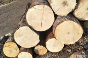 云杉的优点和缺点及云杉木材的用途介绍?