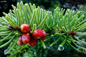 云杉木是什么木材产自哪里?