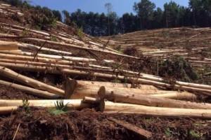 广西省杉木蓄积量12922.9万立方米
