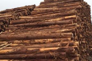 求购:9公分柳杉桉木打桩材