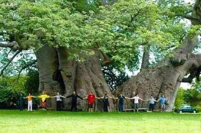树木之中的世界之最你知道多少厂家