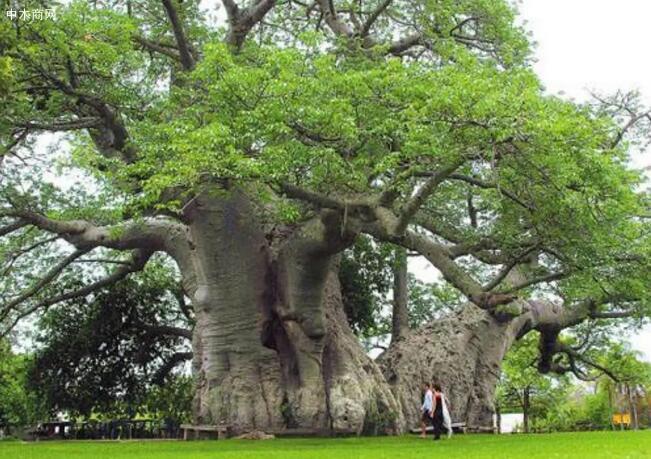树木之中的世界之最你知道多少批发