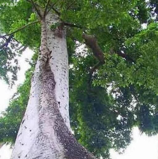 树木之中的世界之最你知道多少供应