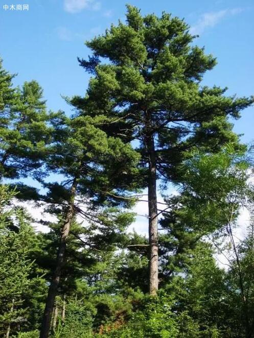 世界之最的六大树木