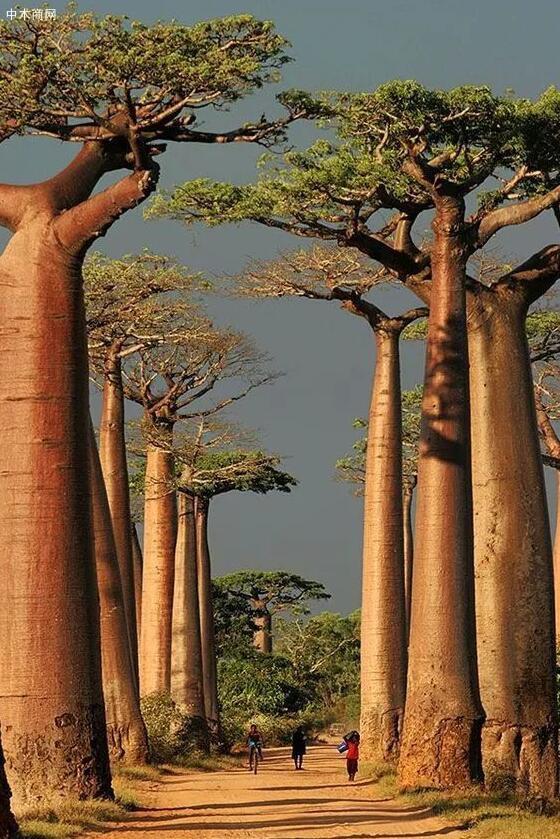 树木的资料