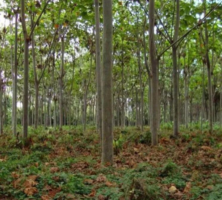 堪称世界之最的三种树木