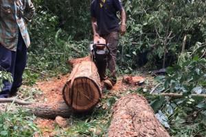 泰国红花梨木原木现货实物高清图片