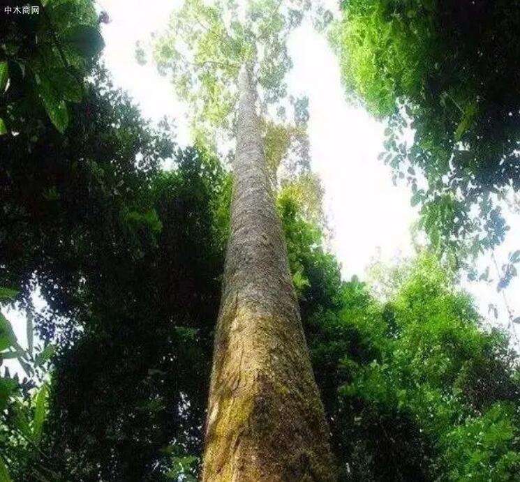 最值钱的树木排名