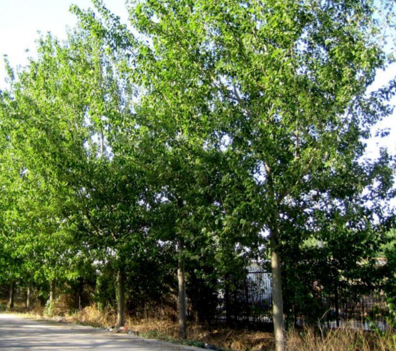 最珍贵的树木排名