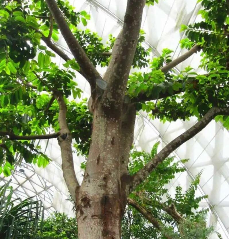 密度最高的树木