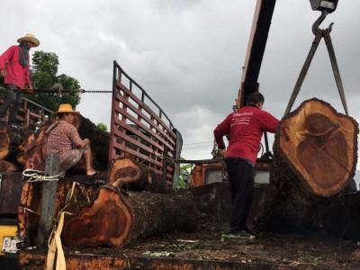 泰国红花梨木原木原产地今日最新报价