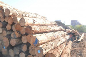 澳大利亚松木的供应量到底有多大?