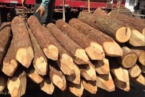 河道杉木桩到水里可以用多少年及利用方式?