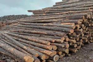 国内澳松原木价格上涨150元/立方米以上