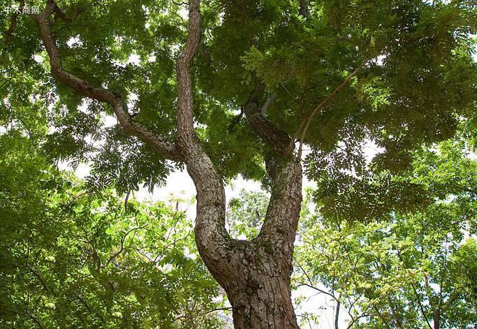 越南黄花梨木原木价格多少钱一斤