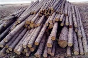 松木杉木原木树木原产地直销