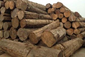 种植林柚木原木新货进入中国市场