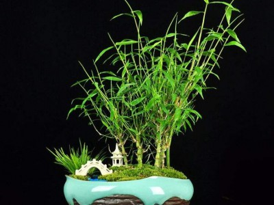 观赏竹,供应粉单竹苗大单竹苗白毛单竹苗油单竹苗