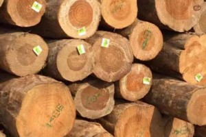 新西兰松原木材在中国的CFR价格持续上涨