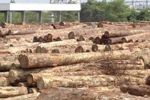 澳松原木供应减少国内旋切对松木的需求火爆