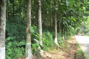 种植林柚木原木新货入市表现可圈可点