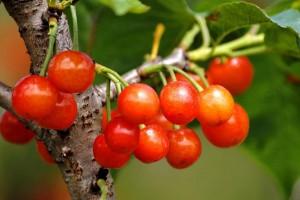 国产樱桃的功效与作用有哪些?