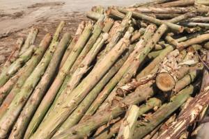 2020年广西桉树木材年产量3000多万立方米,产量排全国第一位